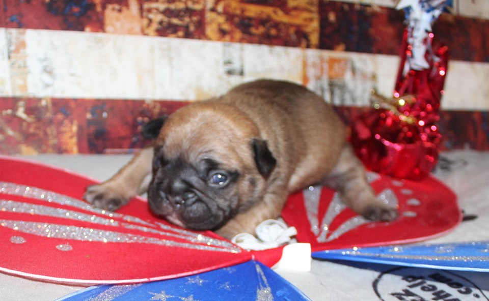 Available Puppies | Smoky Mountain Frenchies and Bulldogs