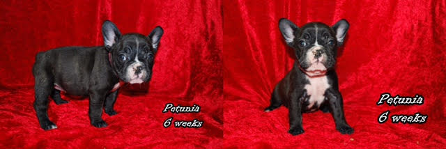 Black Female-Pink Collar-Called Petunia-Still Available