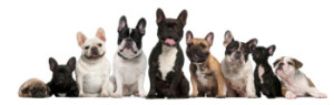 cropped-Pack-of-French-Bulldogs-1.jpg