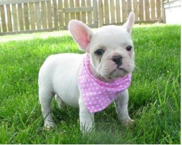 how much are french bulldog puppies
