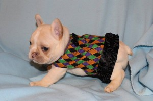 Purple Collar-Brie-Female-sale pending