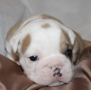 Red Collar-Thanos-male-sale pending