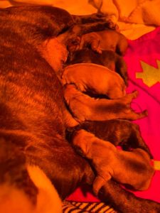 Available Puppies Smoky Mountain Frenchies And Bulldogs
